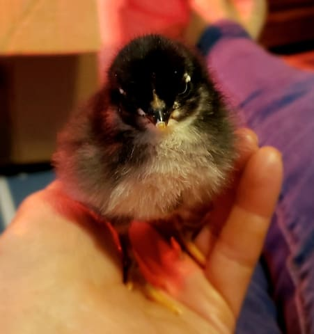 Maran chick from our rooster and hen