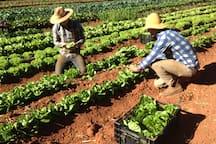 Harvesting lettuce.