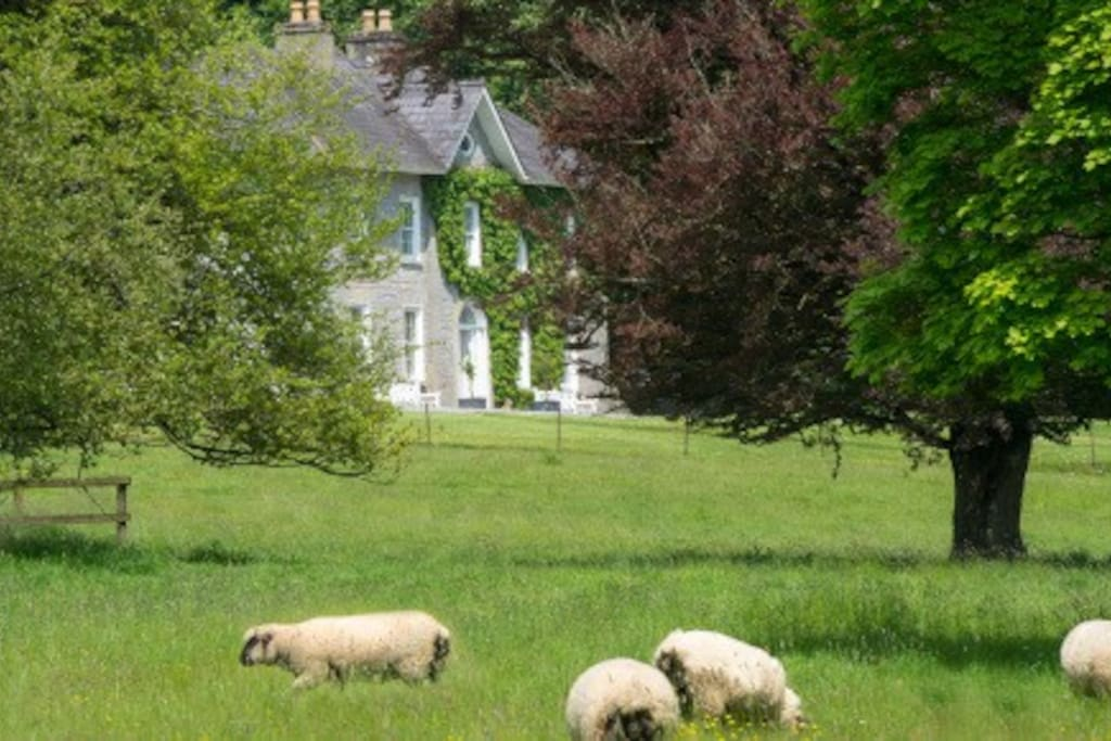 Sheep in the Lawnfield.