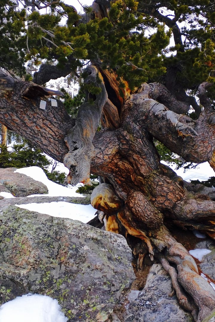 One of the oldest trees in Colorado