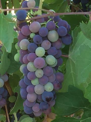 ITALY GENOVA / PIEMONTE  WINE NATUR - Carpeneto