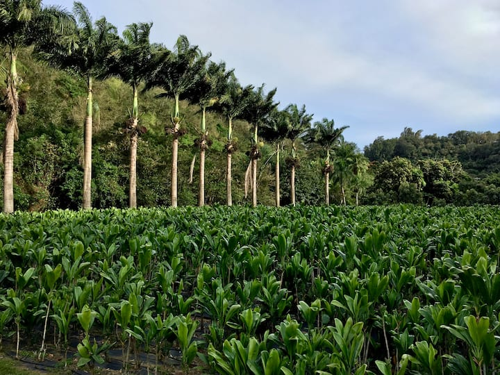 Thousands of ti leaf plants for lei
