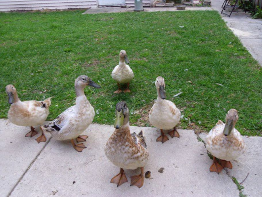 The six pet ducks are waiting to receive you in the back yard.