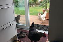 Leider sind die Hühner mittlerweile gestorben. Aber die hatten ein sehr glückliches Leben bei uns!