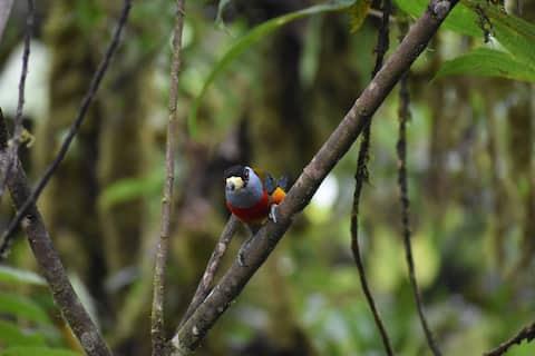 LA CAÑITA Pact - accommodation, Mashpi Reserve, birds