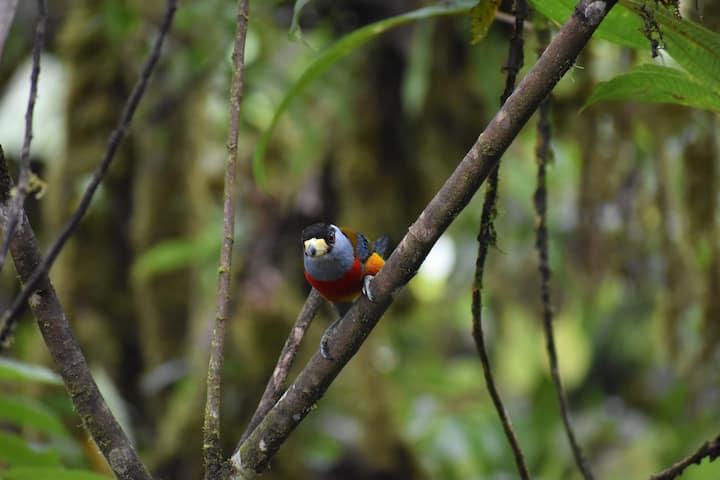 LA CAÑITA Pacto - hospedaje, Reserva Mashpi, aves