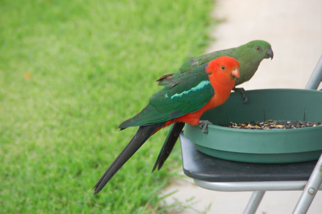 One of our many pairs of king parrots