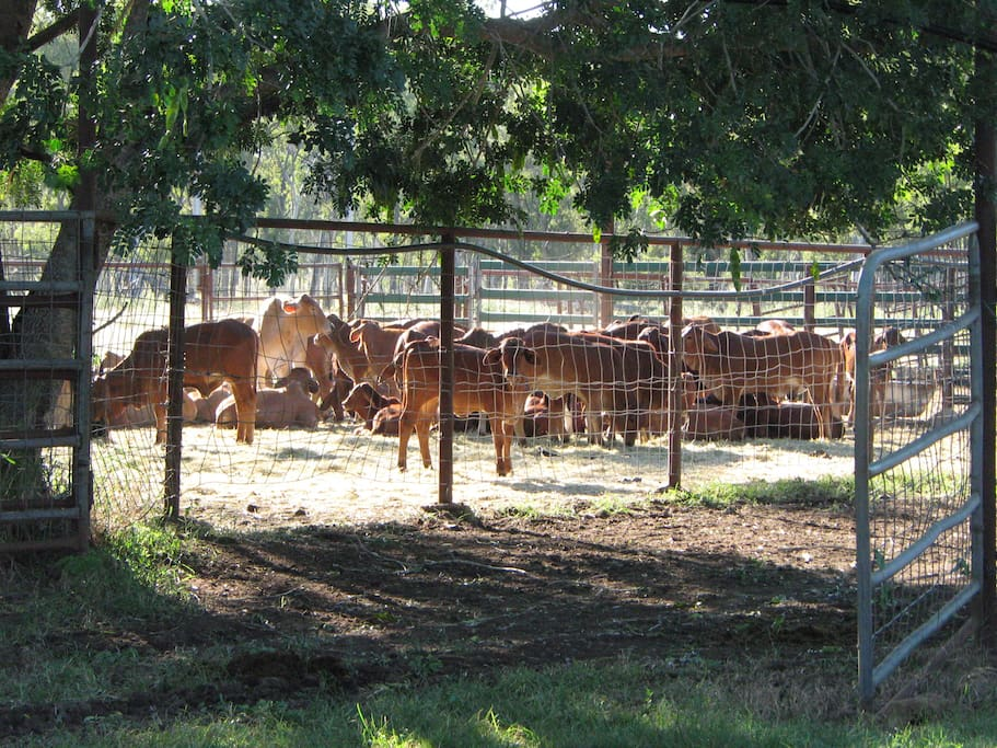 our Brahman cattle in the yards