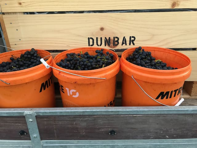 Montepulciano Grapes from 2018 Harvest