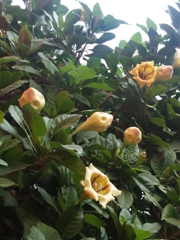 The Copa de oro flowers that give the house its name