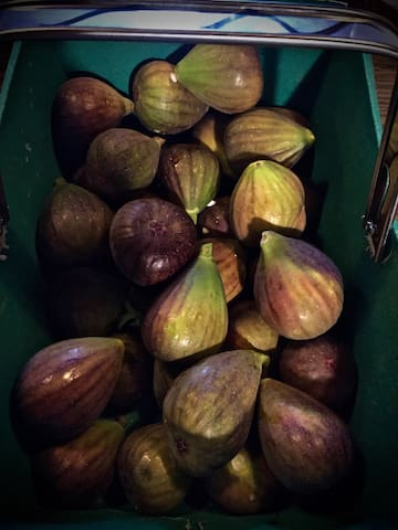 Figs grow by the pool in late summer