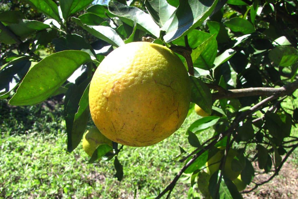 Door de boomgaard lopen om uw eigen sinaasappelen te plukken