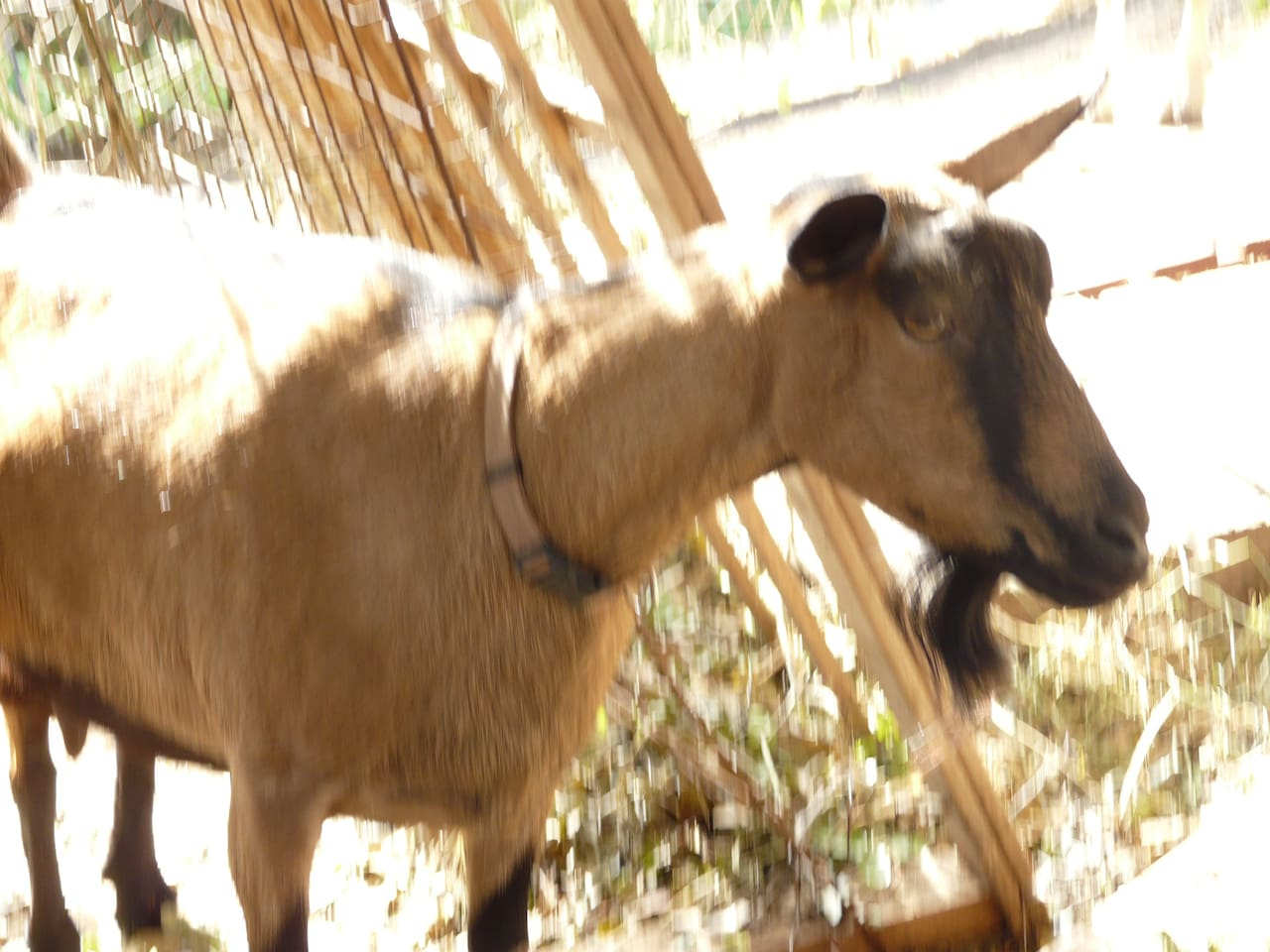 Miss Winterberry, one of our two goats, will give you kisses!