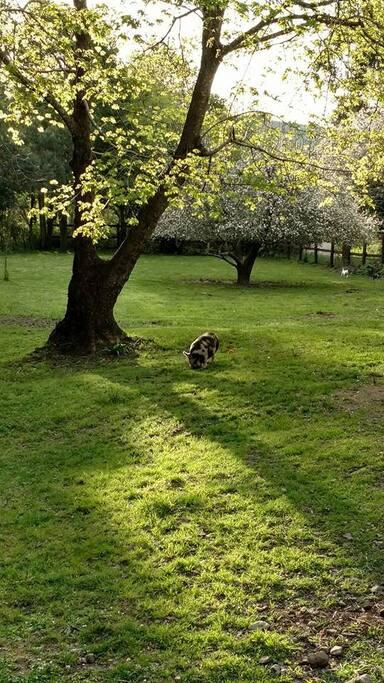 Fenced in yard w/Buddy the Kunekune pig