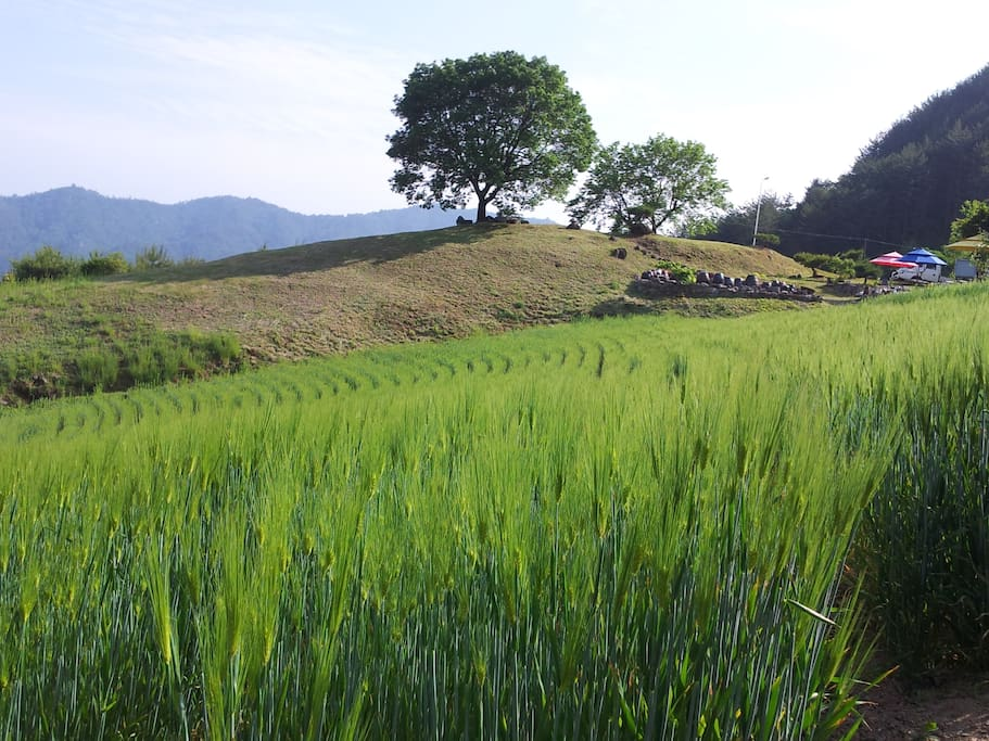 5월 보리이삭이 핀 밭 과 살구나무 언덕