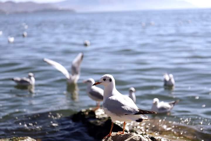 冬天码头洱海边海鸥