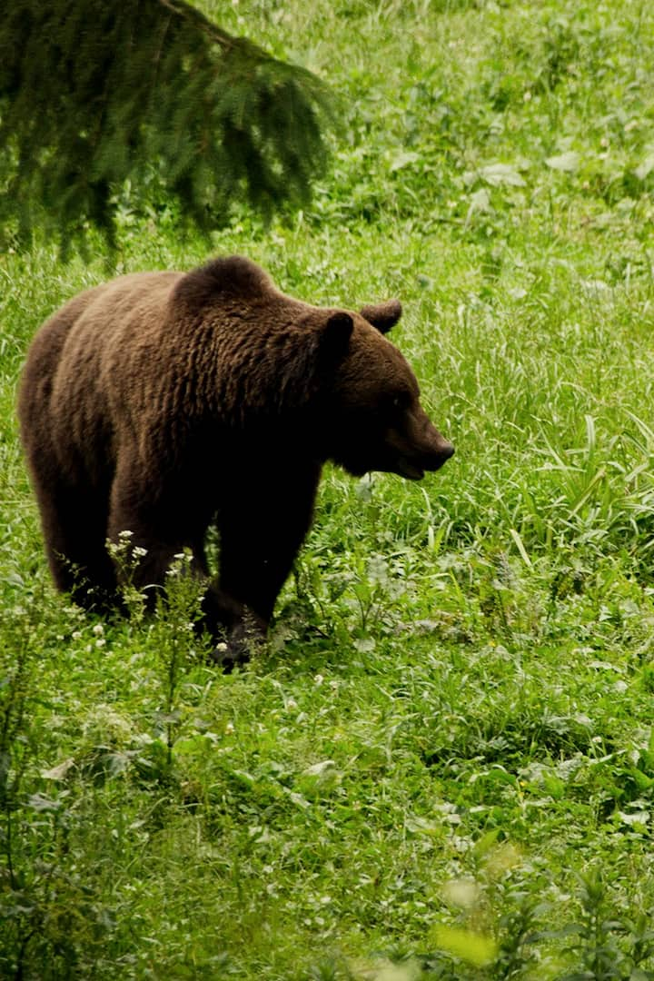 The Carpathian brown bear