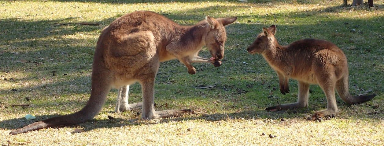 Kangaroos' rest