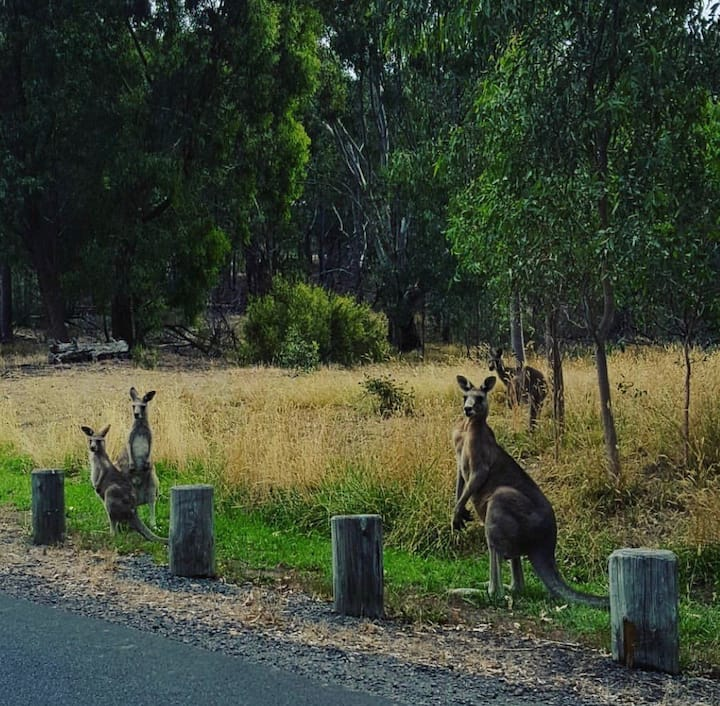Kangaroos in the Artisan Hills