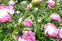 The Peony Patch