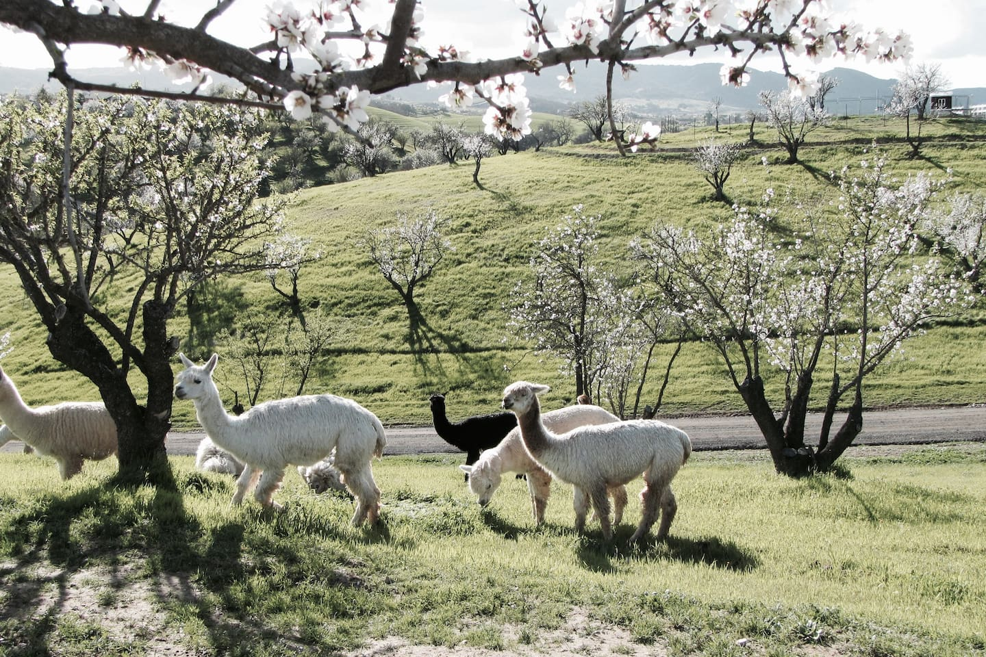 February-Almond trees in bloom with our alpacas grazing