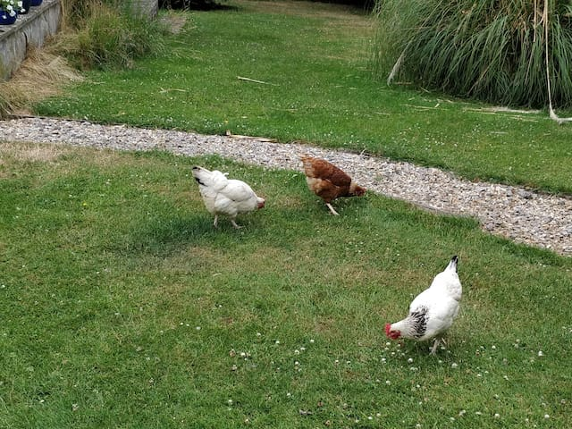 Chickens wondering around