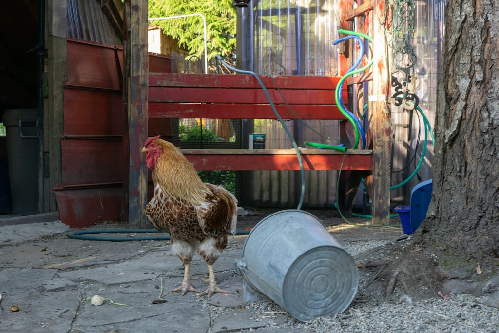 You won't be able to miss Sir Speckles.  He is the rooster in charge.. very friendly and will eat out of your hand.  He does not restrict his crowing to mornings only.