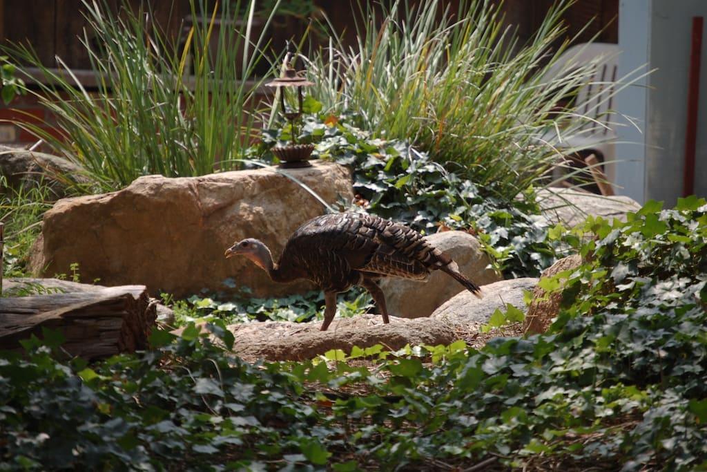 Wild turkeys roam the property