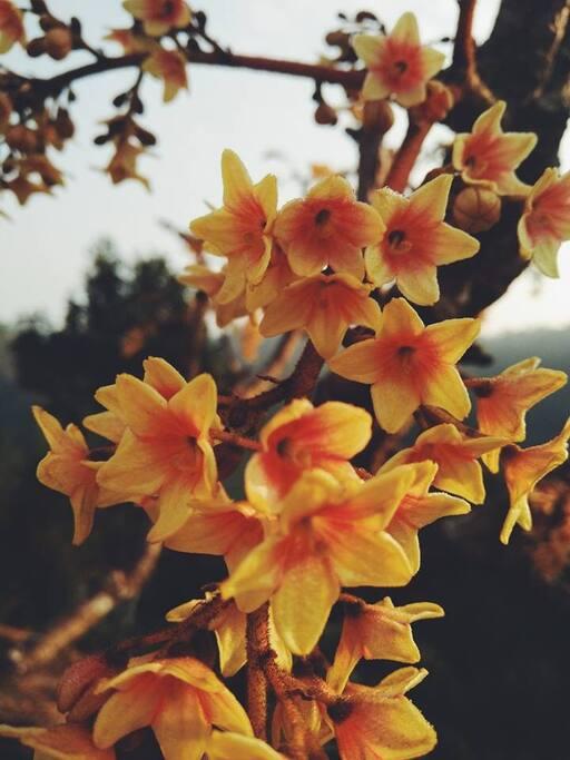 Sterculia villosa Roxb หรือ ปอตูปหูช้าง