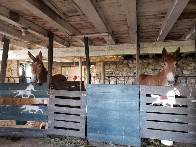 Mules in the barn during harvest