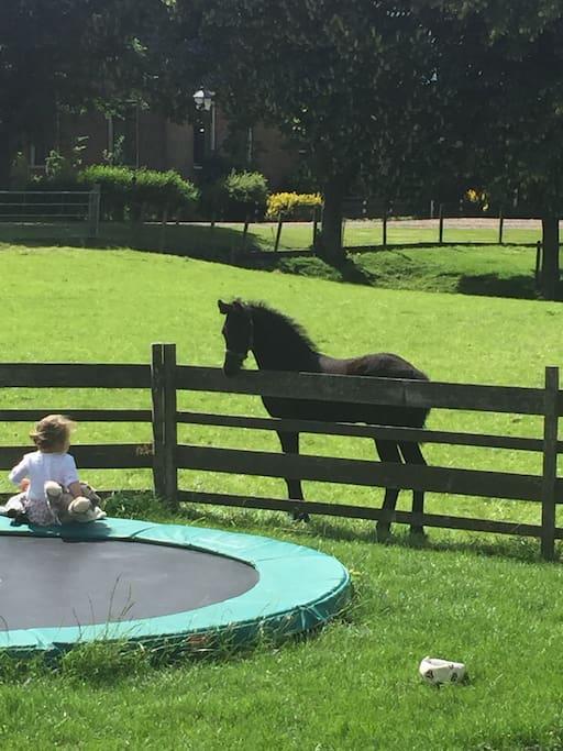 Grote trampoline en Friese paarden