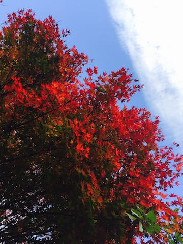 Our Japanese Maple trees put on a spectacular autumn show