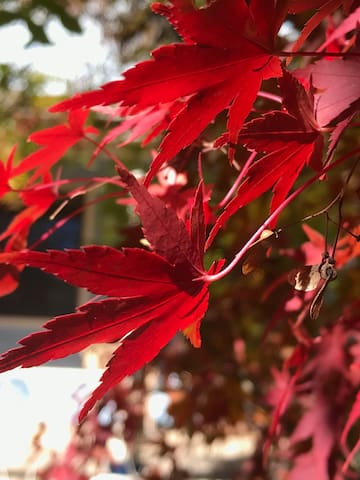 May 2019 - the deepest of reds of the maple leaves