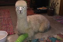 Alpaca Cria ... Reluctant House Guest  Back with the herd now ... much to her relief !! Yes , the broken leg is good as gold !