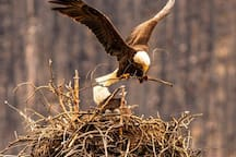 Compliments of Wildlife Photographer and Great Friend - Cathy King (Kingcat1212 Photos 2019)...Eagle Nest (with chicks) at Maligne Lake.