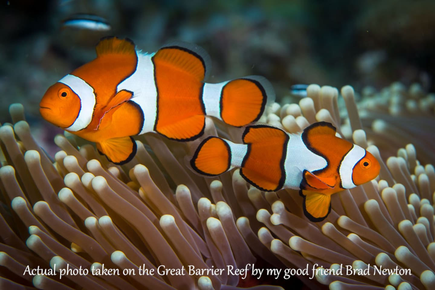 Clown Fish photographed on the Great Barrier Reef