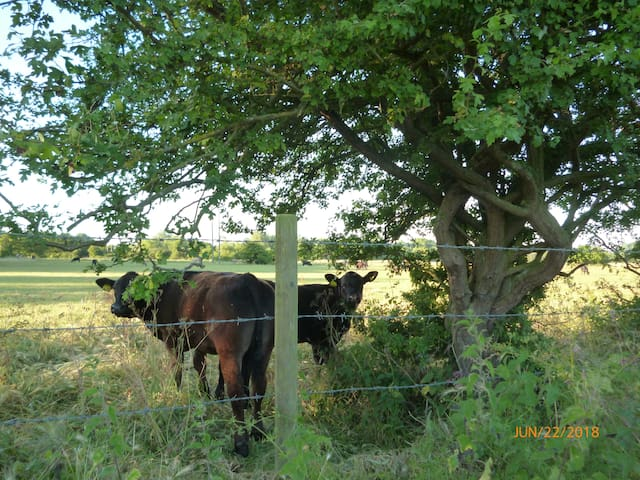 Cows in the meadow opposite