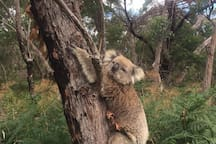 Koalas in the Tolka scrub love a photo opportunity!