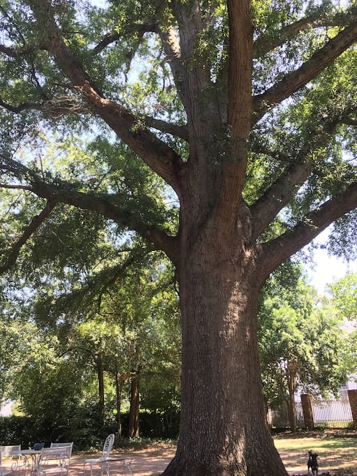 Cool breezes under the shade of the backyard giant oak tree.