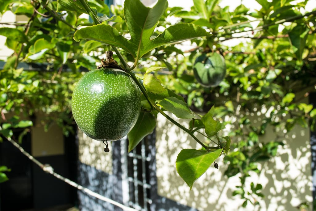 Passion fruit is an intriguing and mysterious fruit that has a surprising number of health and medicinal benefits for those fruit lovers who add it to their diet. Don't forget to try them!