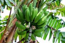 front garden banana patch