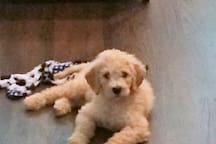 This is Piper our goldendoodle puppy. She is a no-shed, hypoallergenic dog and is with us at work all day.