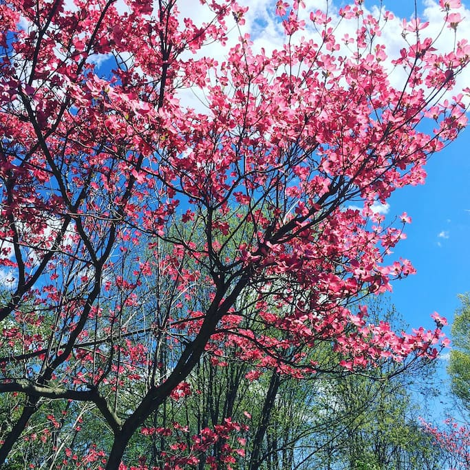 Spring brings gorgeous pink dogwood outside your window