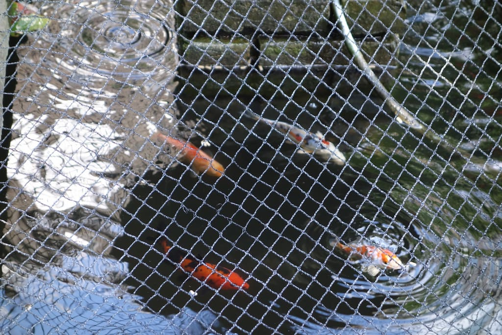 Our friendly koi carp, do give them a pinch of food if you like!