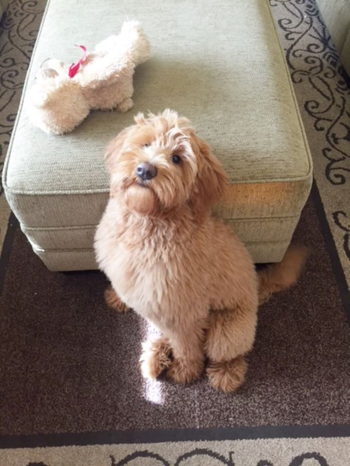This is Charlie, our sweet golden doodle. She may bark when you arrive, but she is super friendly. She is non-shedding so great for anyone who has allergies. She loves everyone, especially kids.