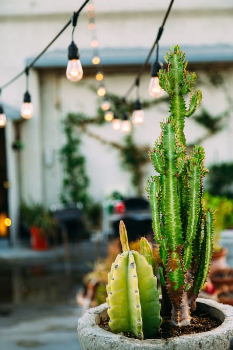 Part of our cactus collection under cafe lights on the rooftop
