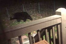 Black Bear in back yard about 11pm.