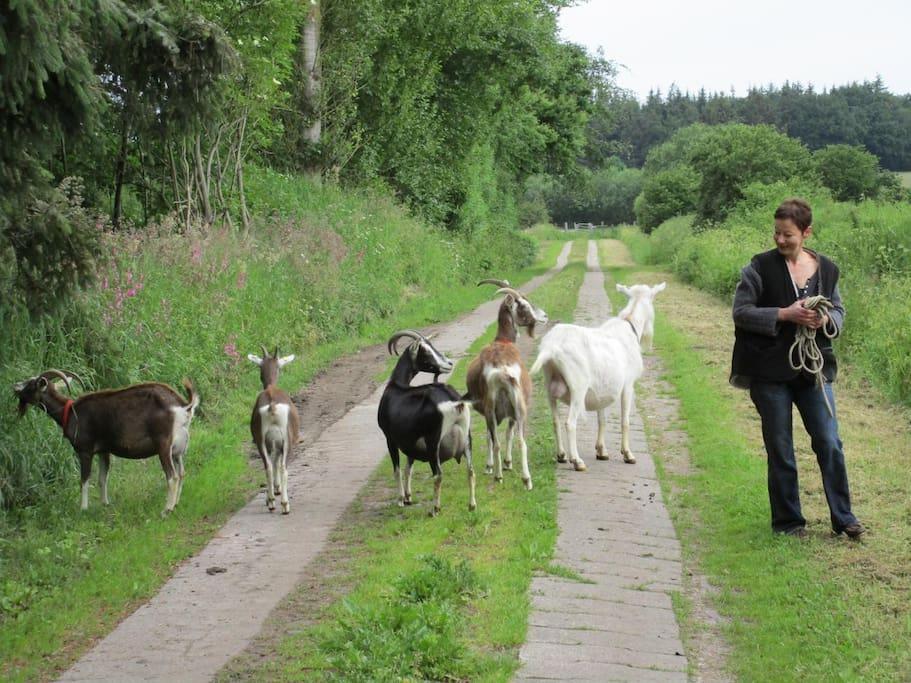 Spaziergang mit Ziegen