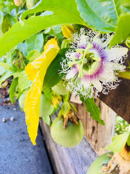 Passionfruit and flower in my garden