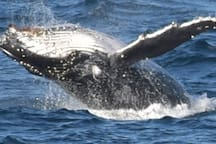 Whales are parading up the coast from May to November